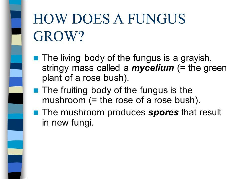 HOW DOES A FUNGUS GROW The living body of the fungus is a grayish, stringy mass called a mycelium (= the green plant of a rose bush).