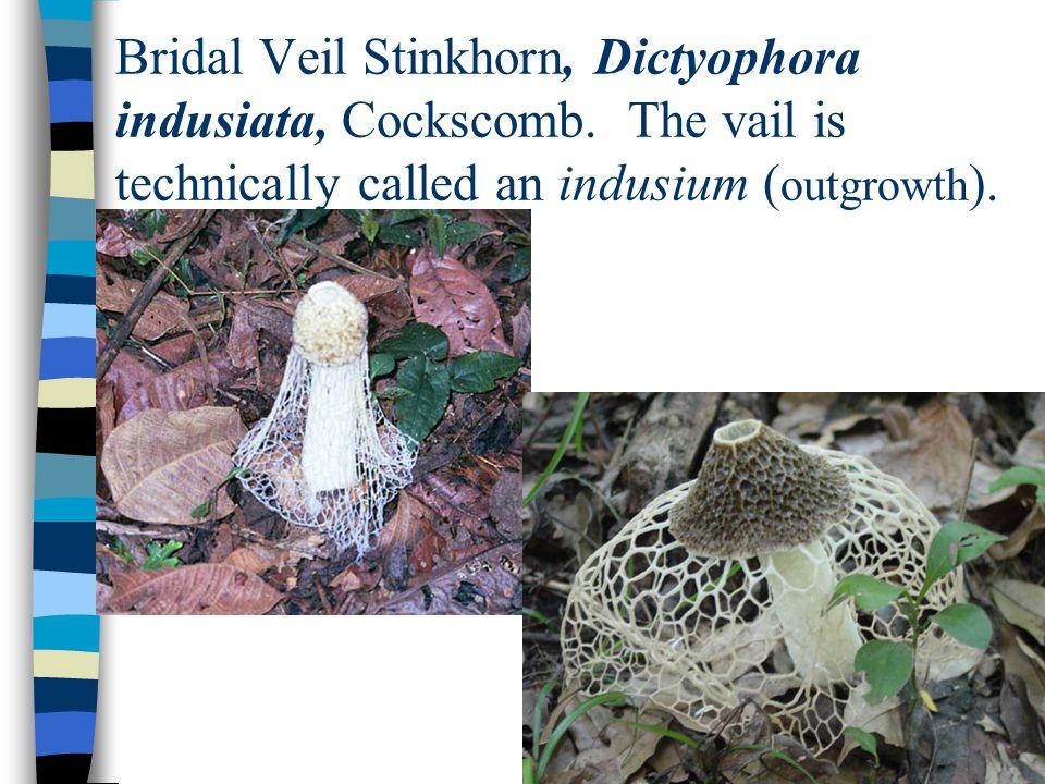 Bridal Veil Stinkhorn, Dictyophora indusiata, Cockscomb