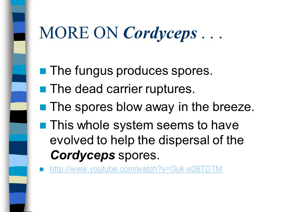 MORE ON Cordyceps . . . The fungus produces spores.
