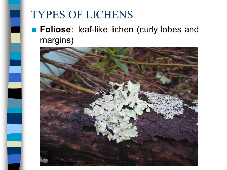 TYPES OF LICHENS Foliose: leaf-like lichen (curly lobes and margins)