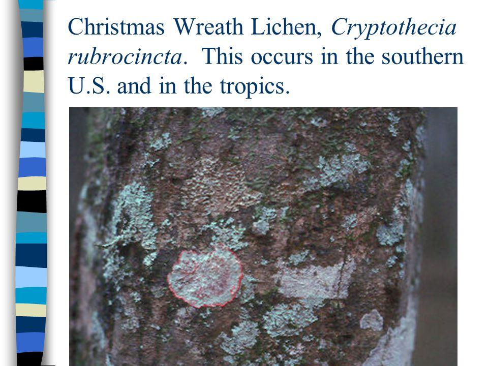 Christmas Wreath Lichen, Cryptothecia rubrocincta