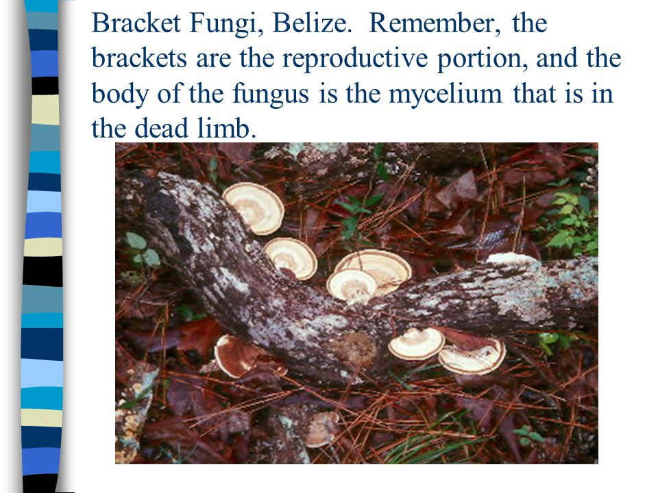 Bracket Fungi, Belize.