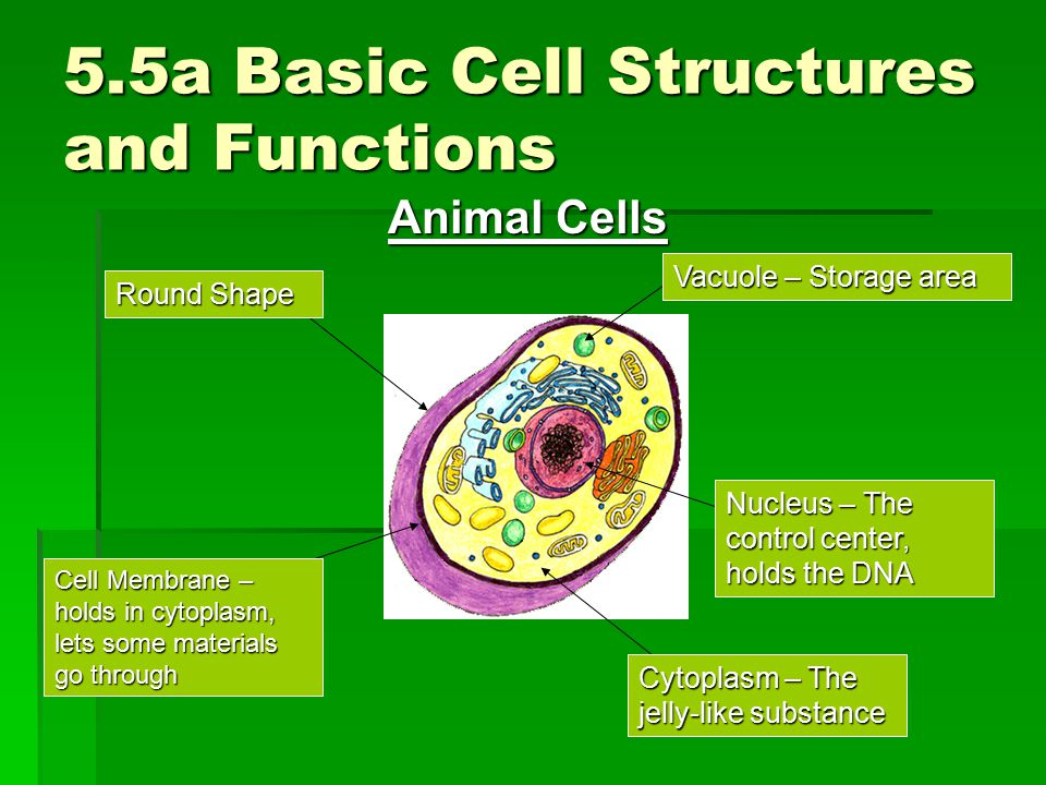 5.5a Basic Cell Structures and Functions