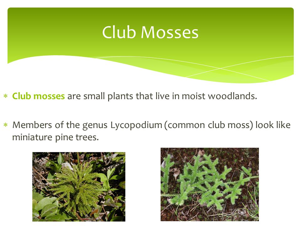 Club Mosses Club mosses are small plants that live in moist woodlands.