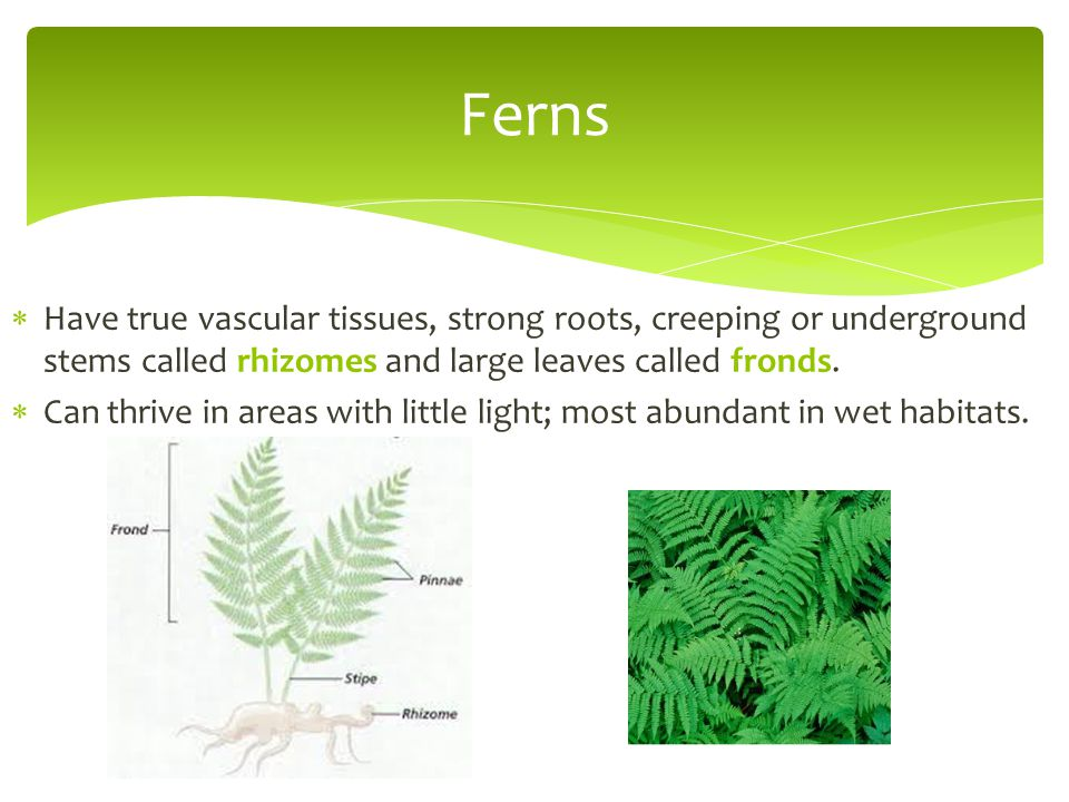Ferns Have true vascular tissues, strong roots, creeping or underground stems called rhizomes and large leaves called fronds.