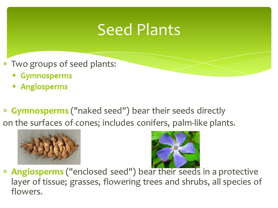 Seed Plants Two groups of seed plants: