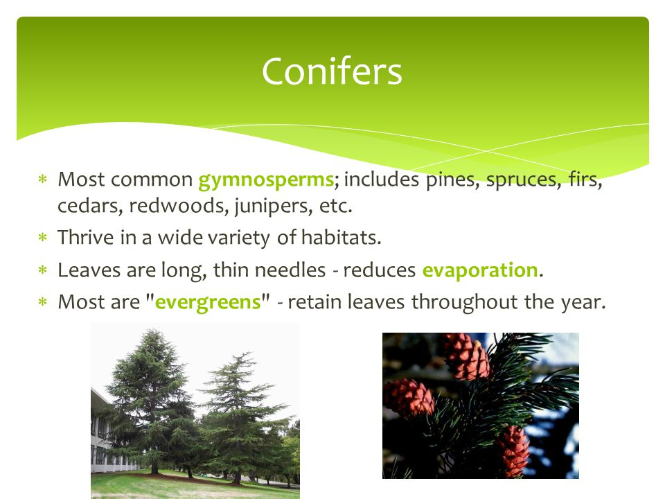 Conifers Most common gymnosperms; includes pines, spruces, firs, cedars, redwoods, junipers, etc. Thrive in a wide variety of habitats.