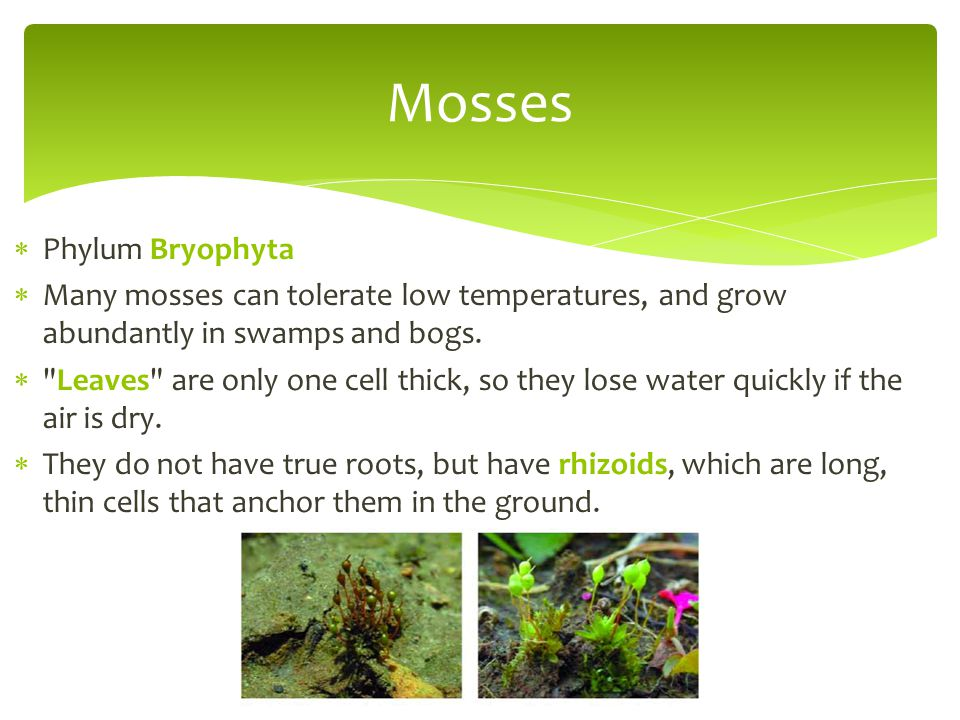 Mosses Phylum Bryophyta