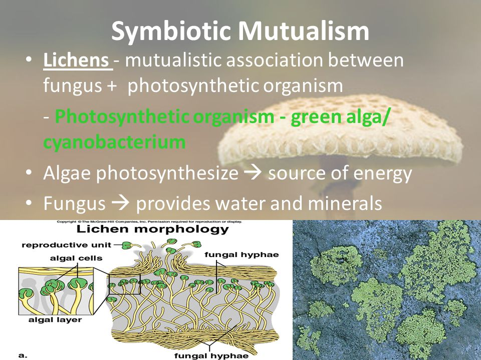 Symbiotic Mutualism Lichens - mutualistic association between fungus + photosynthetic organism.