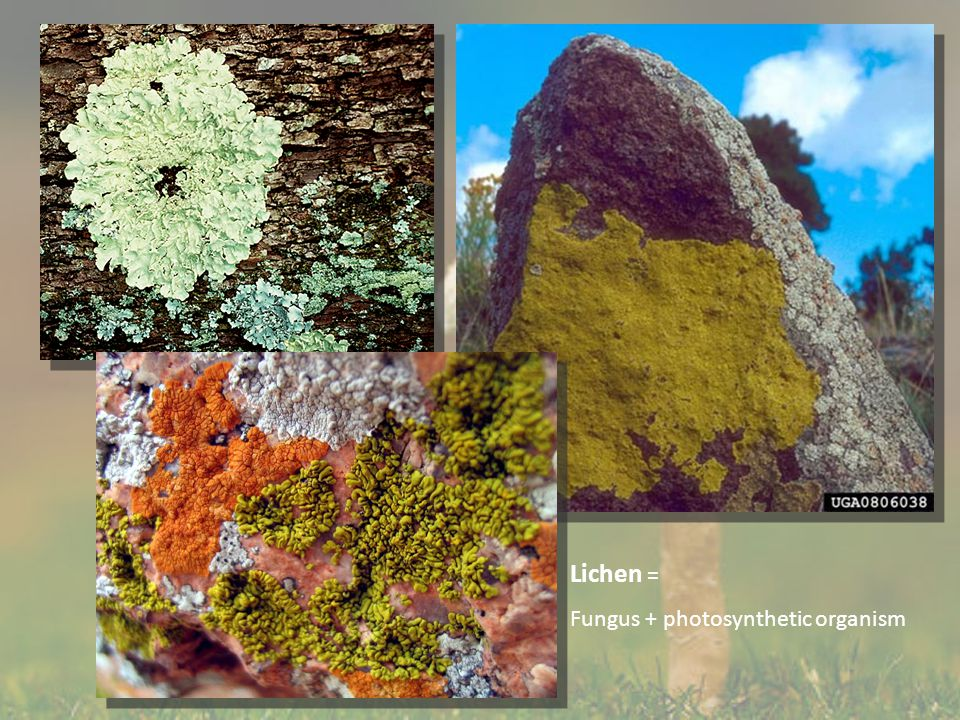 Lichen = Fungus + photosynthetic organism