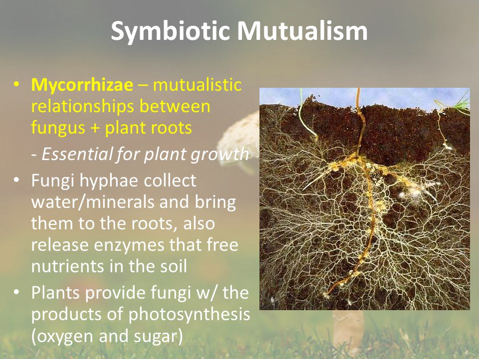 Symbiotic Mutualism Mycorrhizae – mutualistic relationships between fungus + plant roots. - Essential for plant growth.