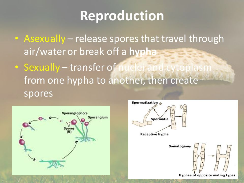 Reproduction Asexually – release spores that travel through air/water or break off a hypha.