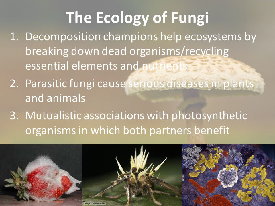 The Ecology of Fungi Decomposition champions help ecosystems by breaking down dead organisms/recycling essential elements and nutrients.