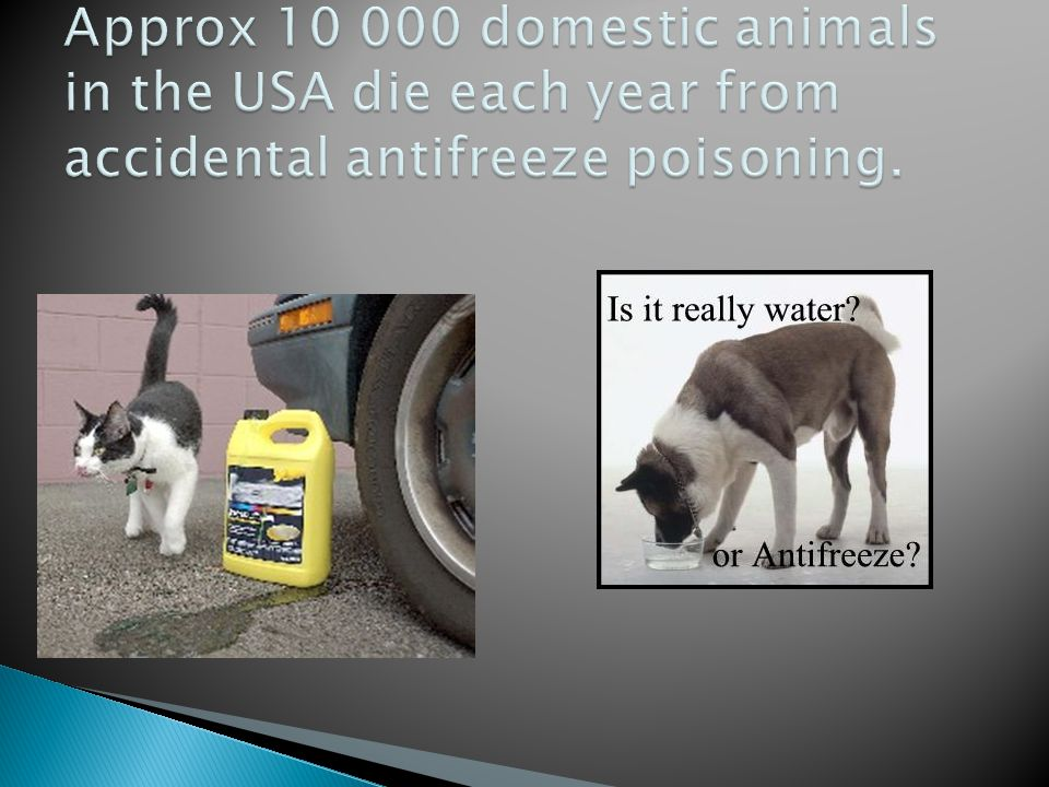 Approx 10 000 domestic animals in the USA die each year from accidental antifreeze poisoning.