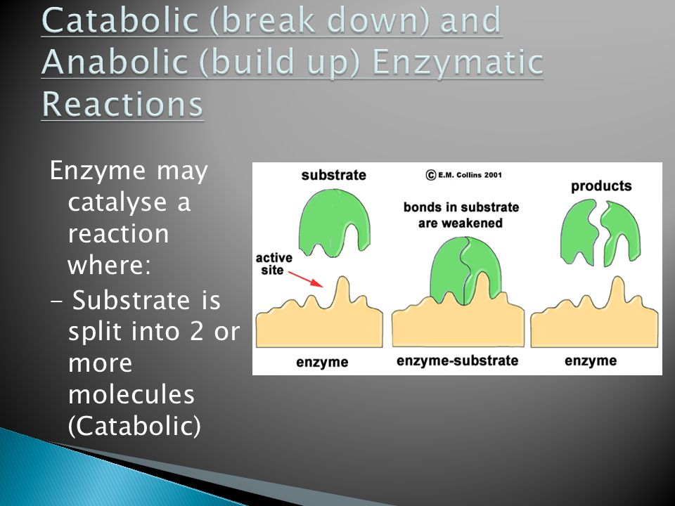 Catabolic (break down) and Anabolic (build up) Enzymatic Reactions