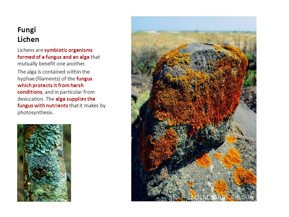 Fungi Lichen Lichens are symbiotic organisms formed of a fungus and an alga that mutually benefit one another.