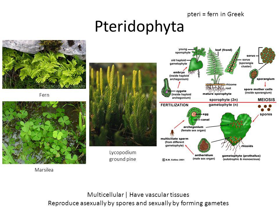 Pteridophyta pteri = fern in Greek