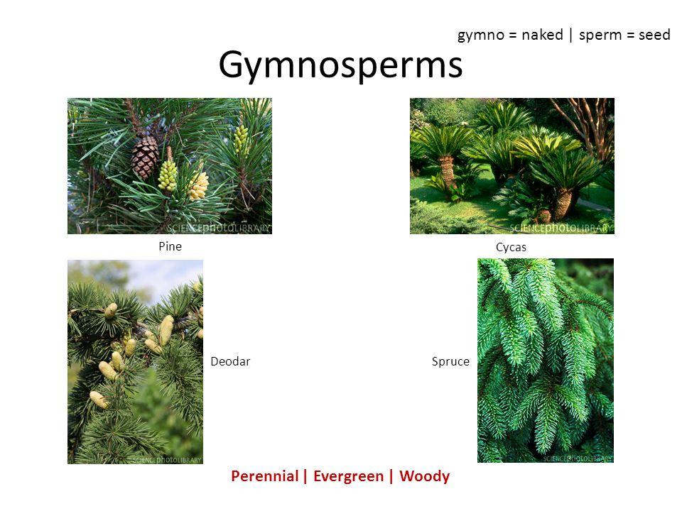 Perennial   Evergreen   Woody