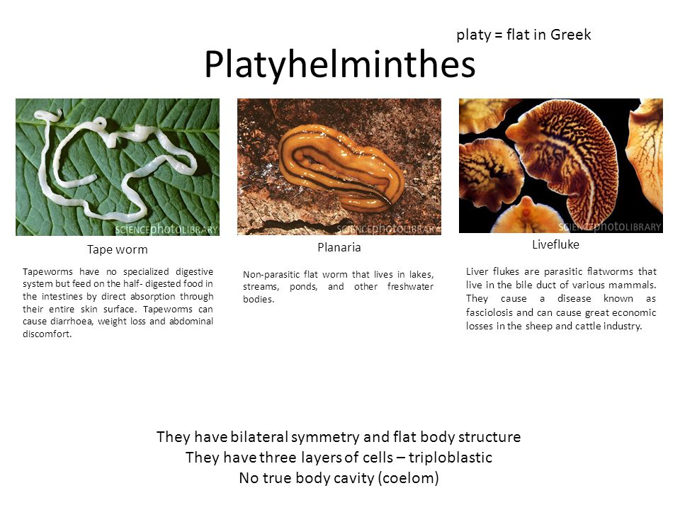 Platyhelminthes platy = flat in Greek