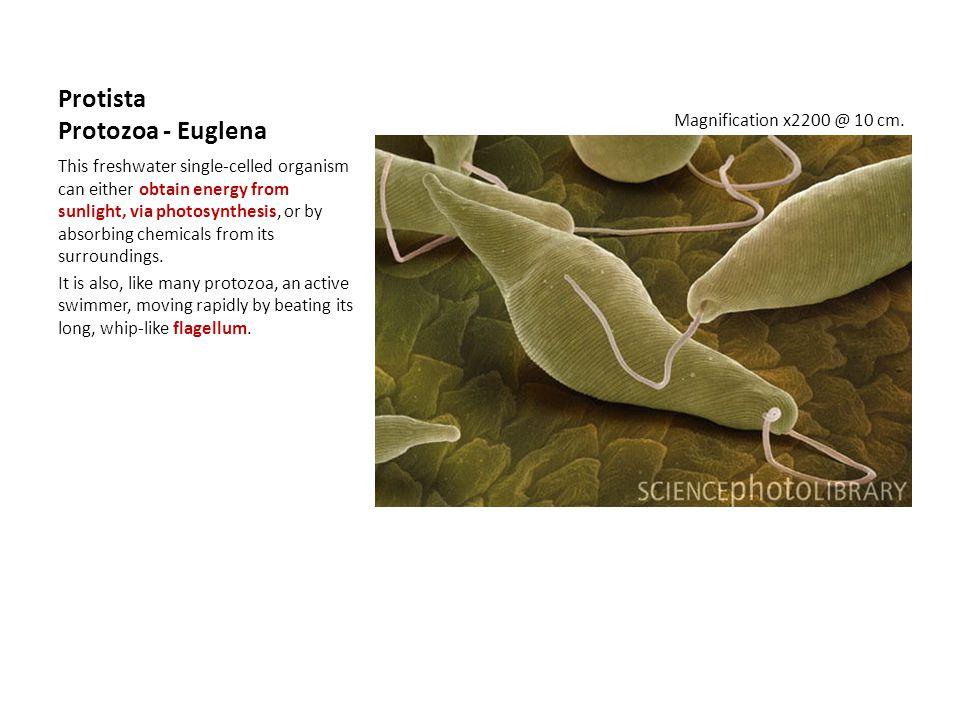 Protista Protozoa - Euglena