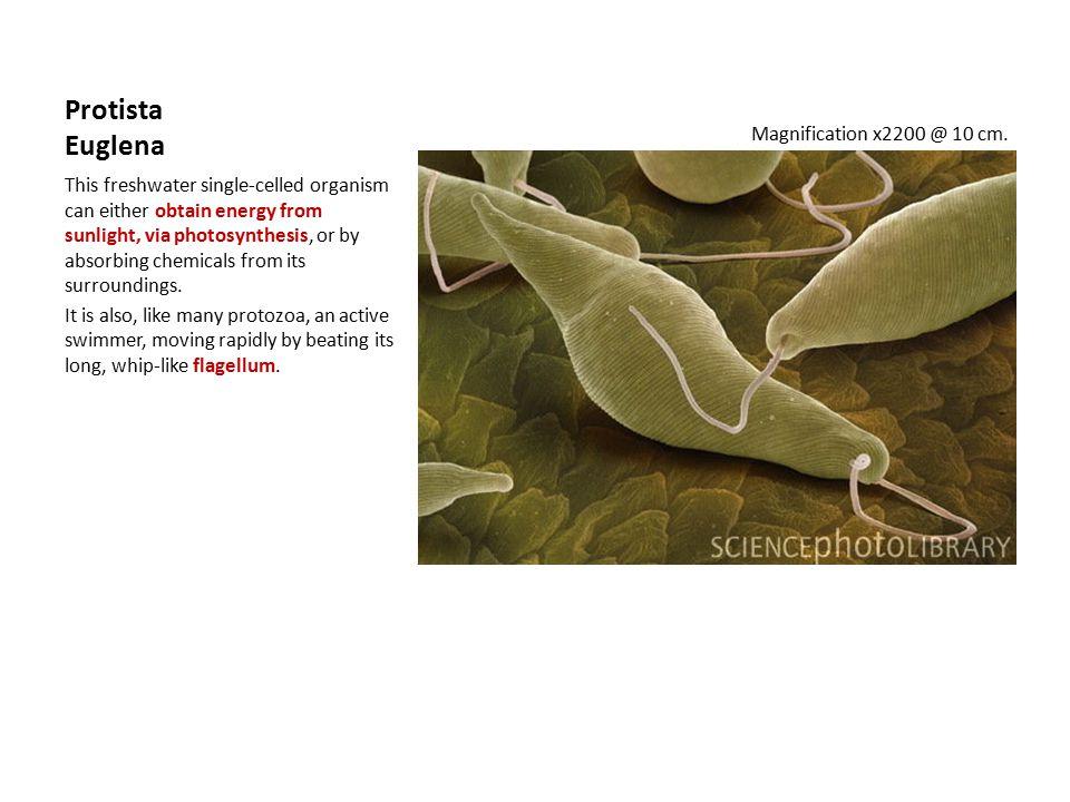 Protista Euglena Magnification x2200 @ 10 cm.