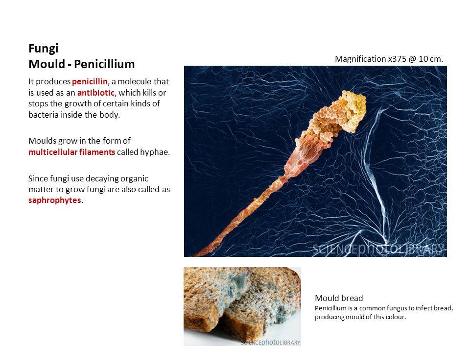 Fungi Mould - Penicillium