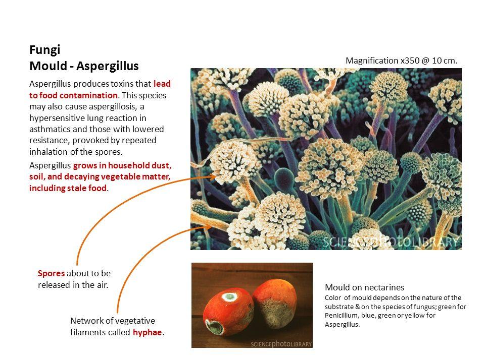Fungi Mould - Aspergillus