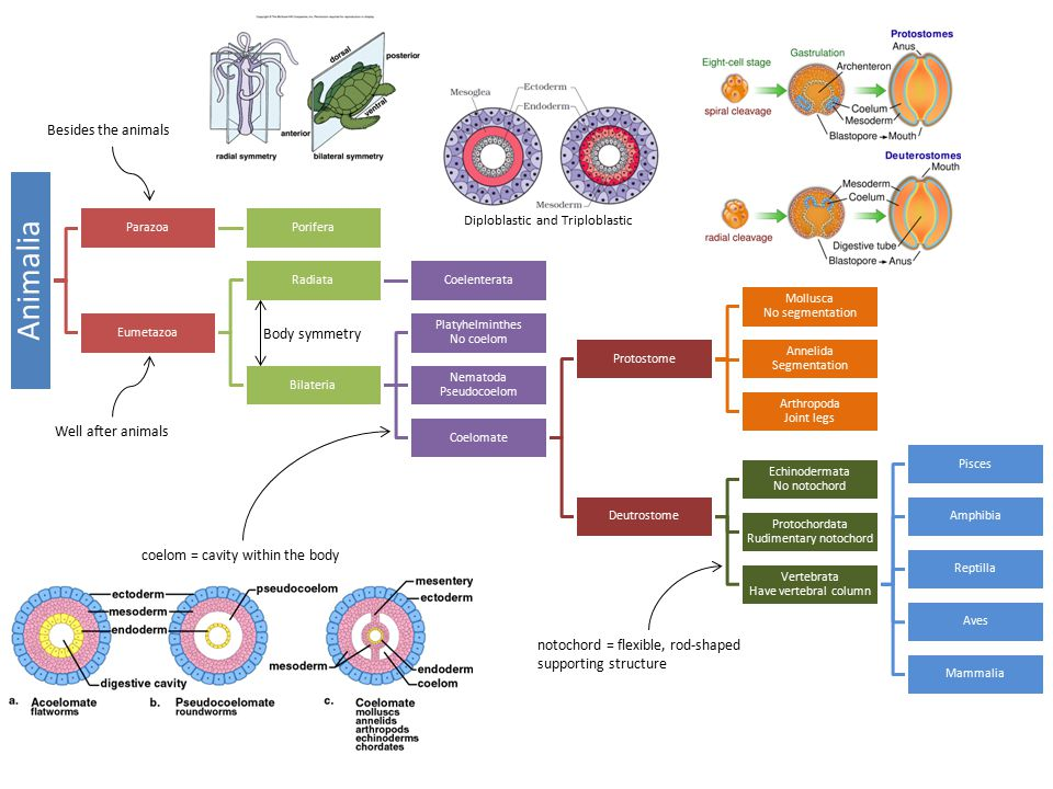 Diploblastic and Triploblastic Besides the animals