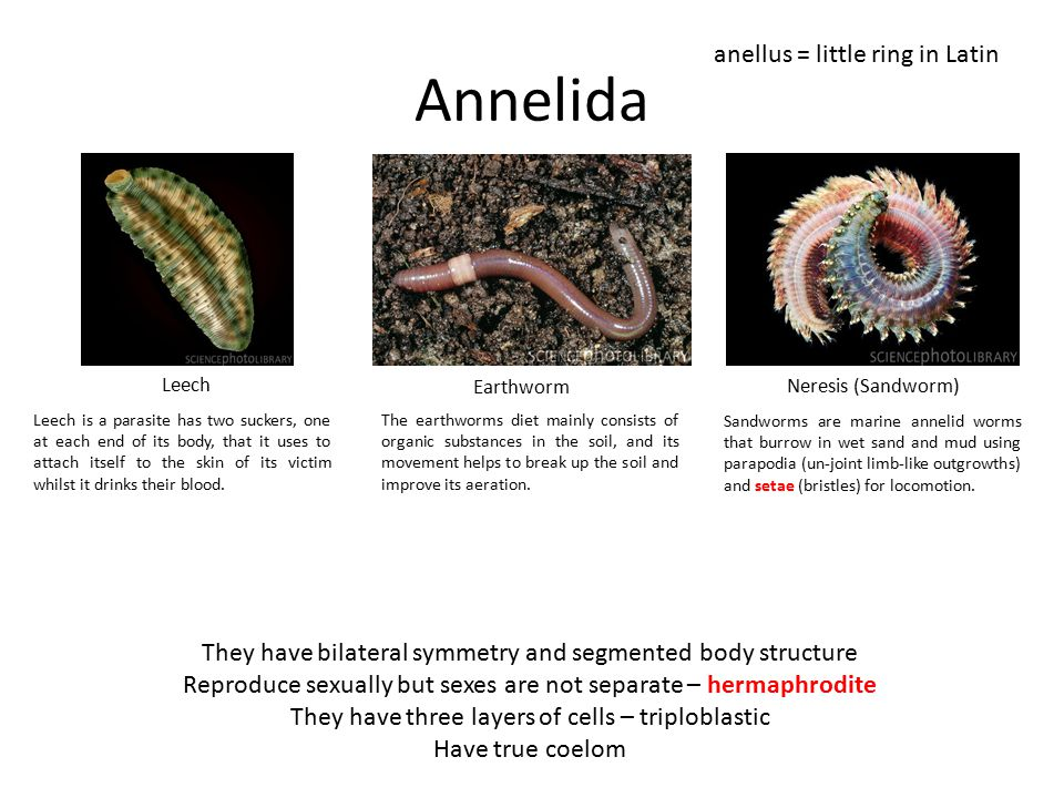 Annelida anellus = little ring in Latin