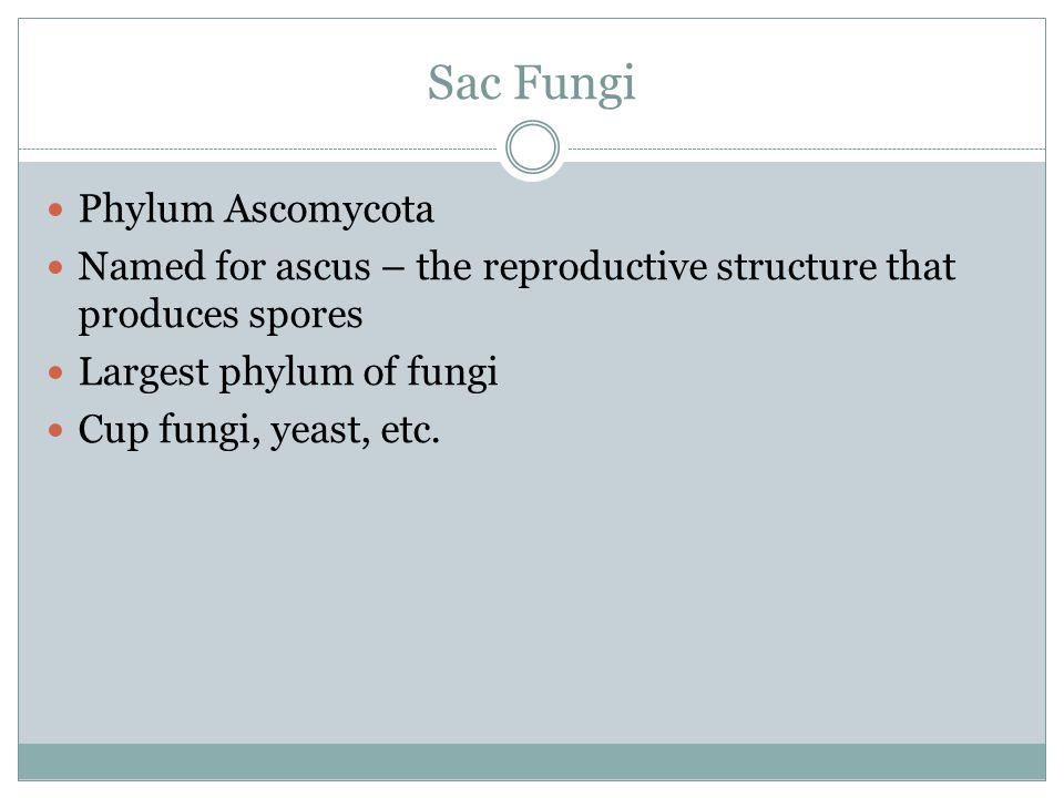 Sac Fungi Phylum Ascomycota