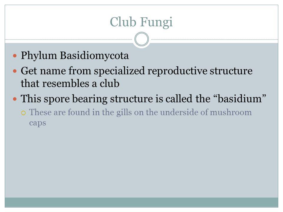Club Fungi Phylum Basidiomycota