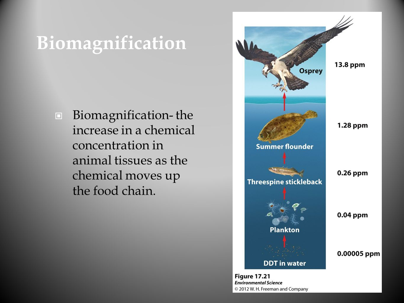 Biomagnification Biomagnification- the increase in a chemical concentration in animal tissues as the chemical moves up the food chain.