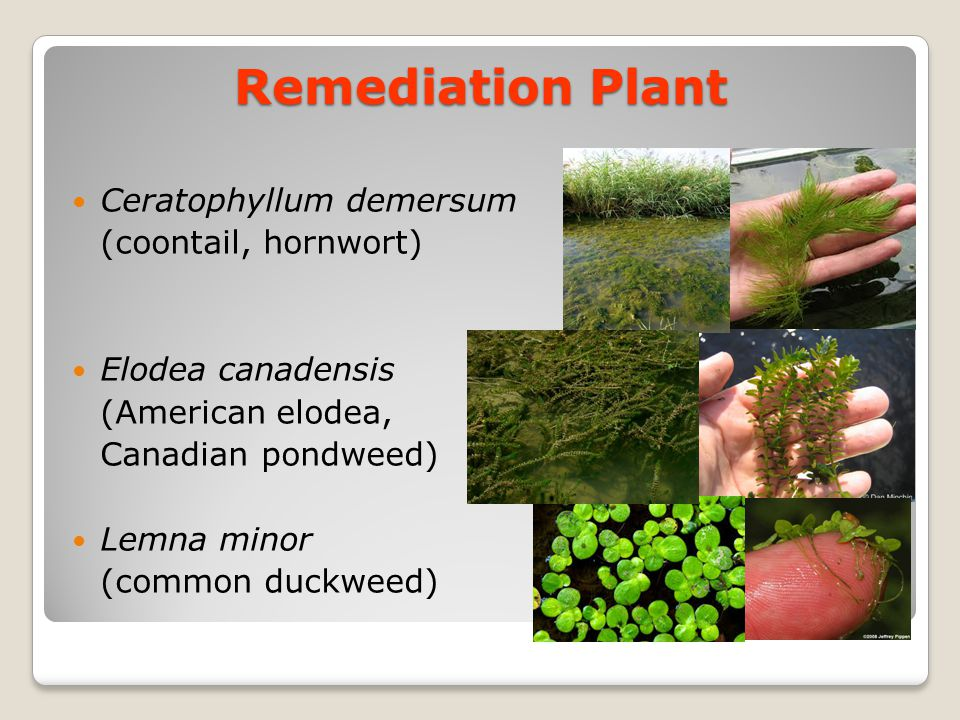 Remediation Plant Ceratophyllum demersum (coontail, hornwort)