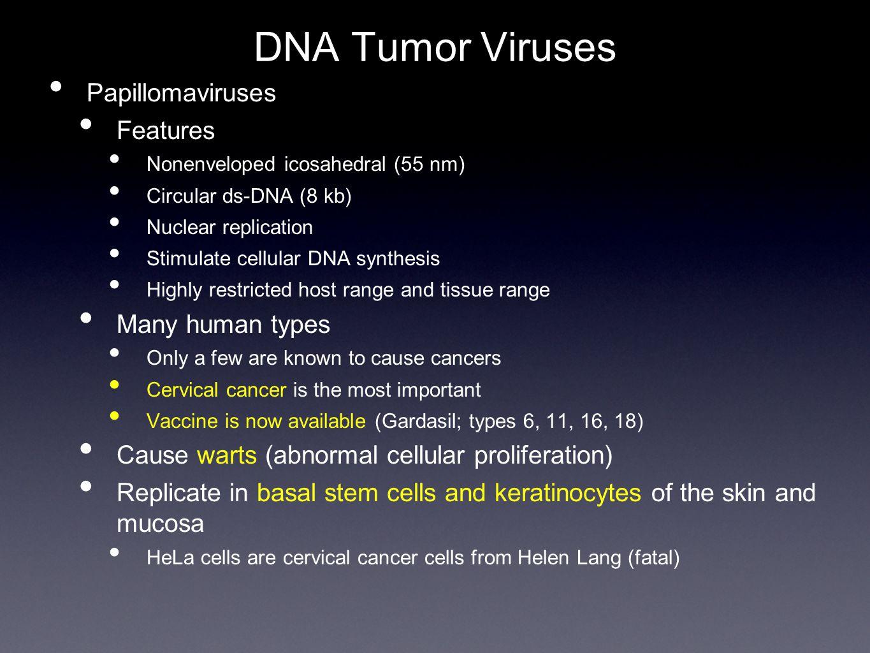 DNA Tumor Viruses Papillomaviruses Features Many human types