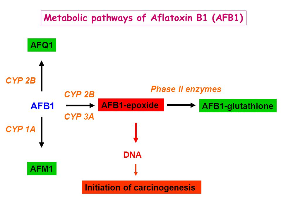 Metabolic pathways of Aflatoxin B1 (AFB1)