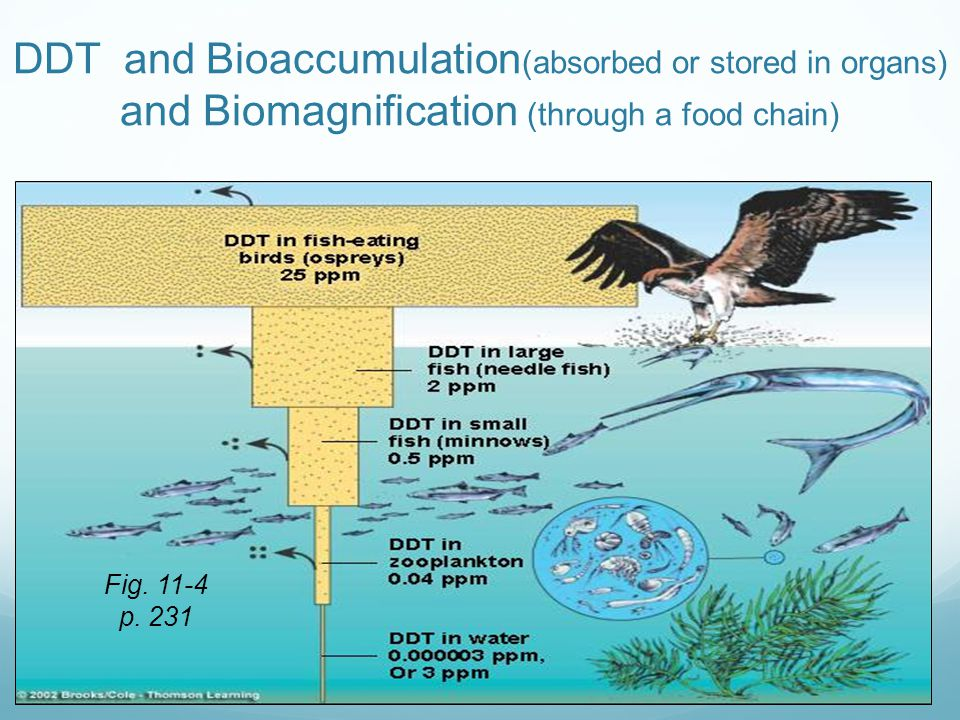 DDT and Bioaccumulation(absorbed or stored in organs) and Biomagnification (through a food chain)