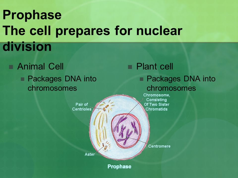 Prophase The cell prepares for nuclear division