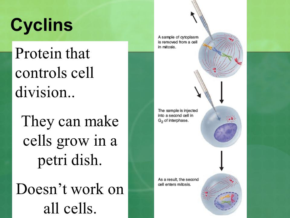 Cyclins Protein that controls cell division..