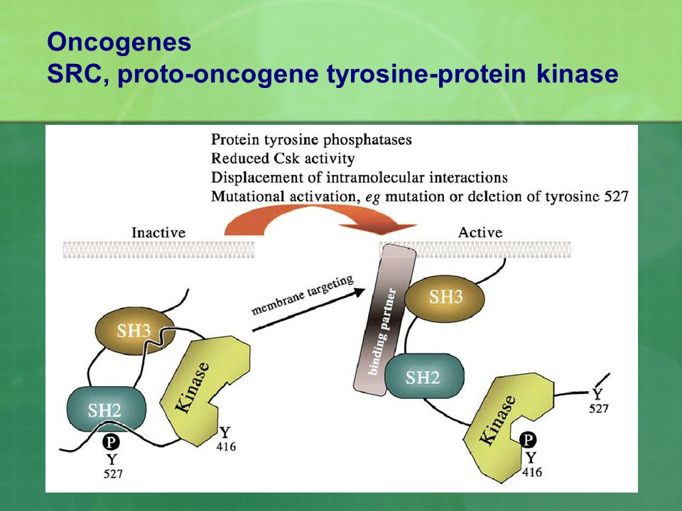 Oncogenes SRC, proto-oncogene tyrosine-protein kinase