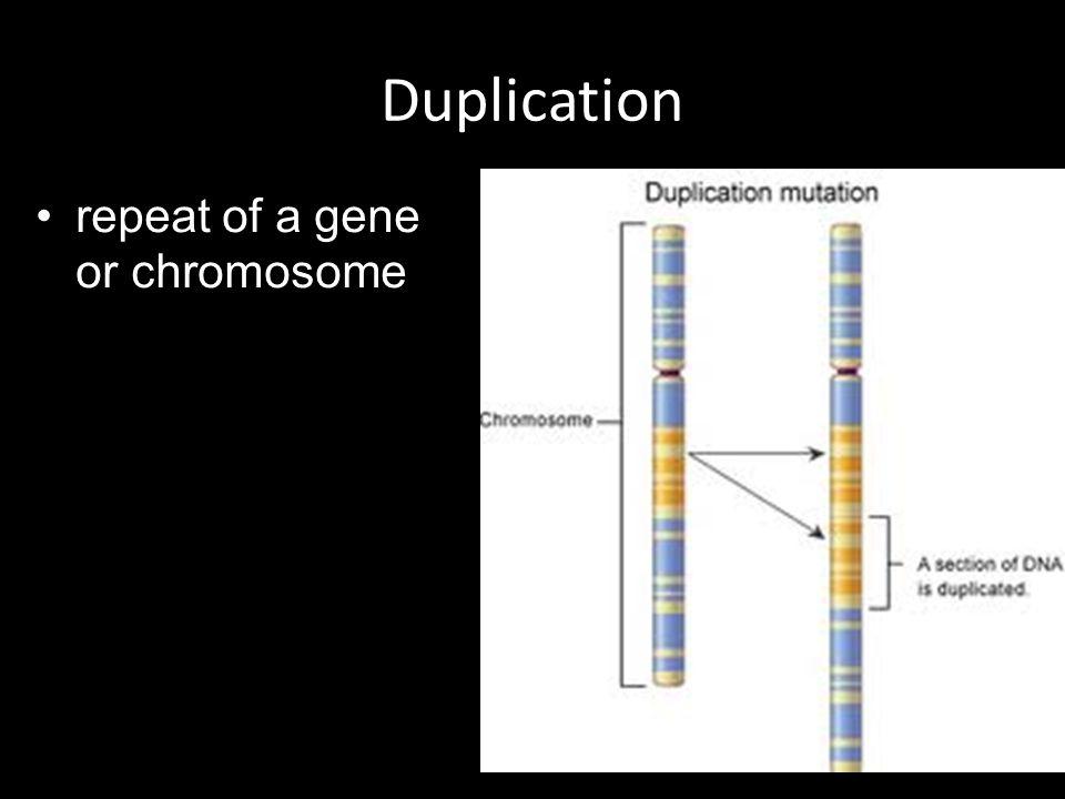 Duplication repeat of a gene or chromosome