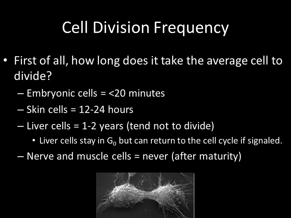 Cell Division Frequency