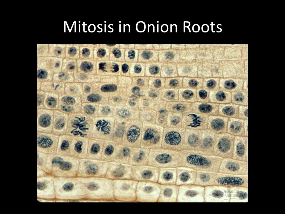Mitosis in Onion Roots