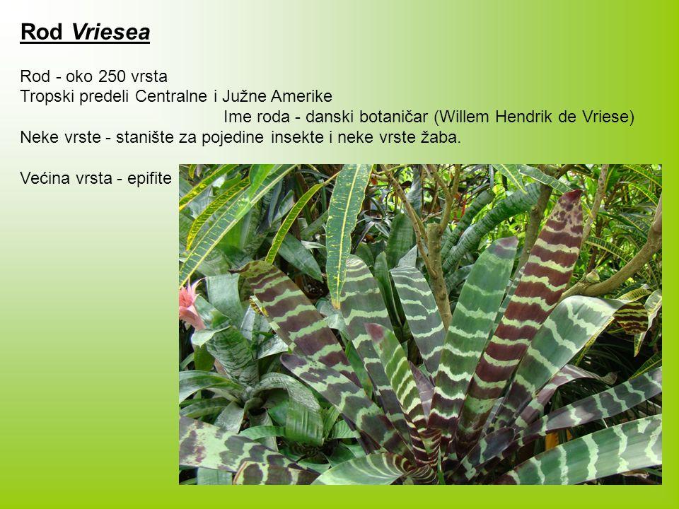 Rod Vriesea Rod - oko 250 vrsta