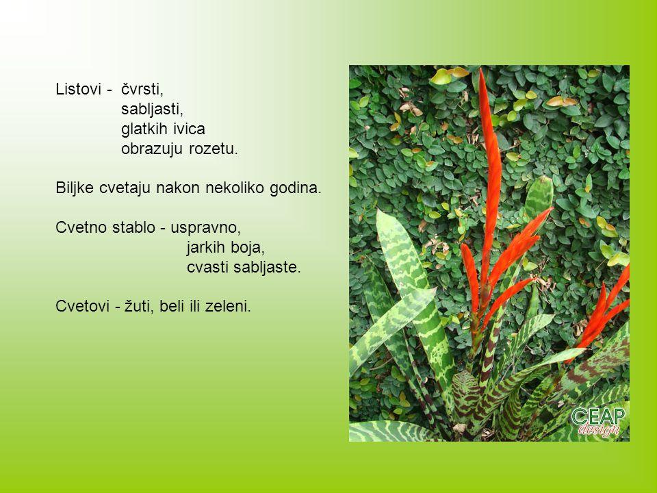 Listovi - čvrsti, sabljasti, glatkih ivica. obrazuju rozetu. Biljke cvetaju nakon nekoliko godina.