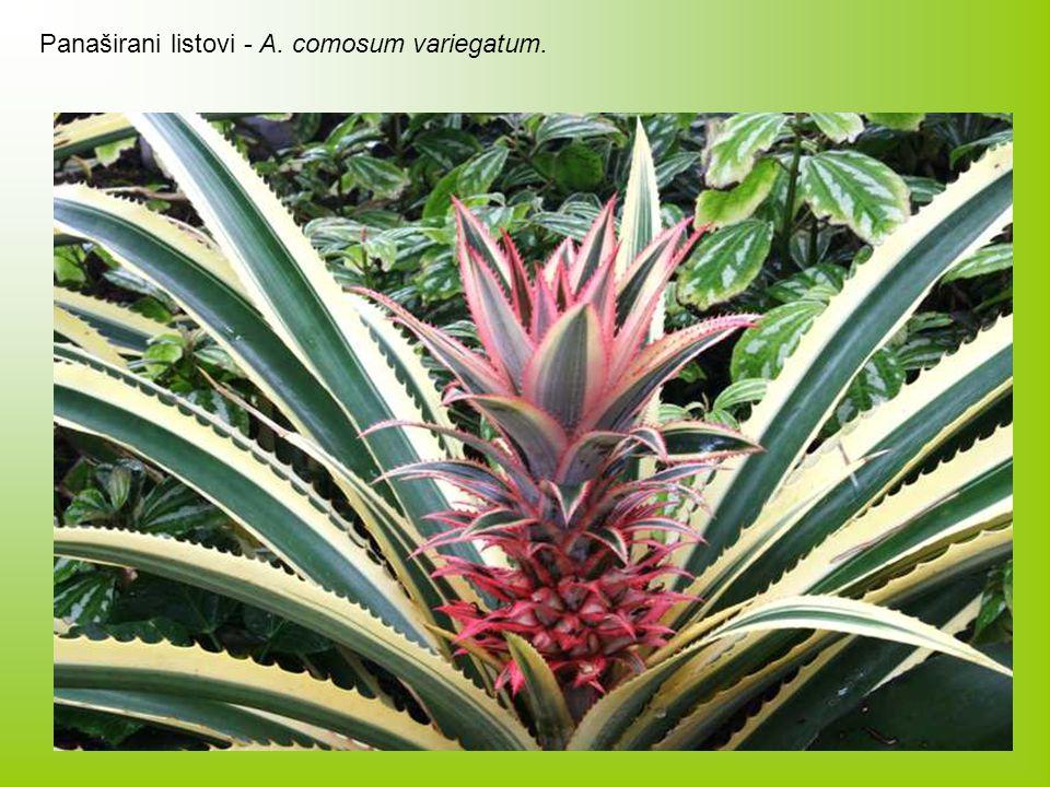 Panaširani listovi - A. comosum variegatum.