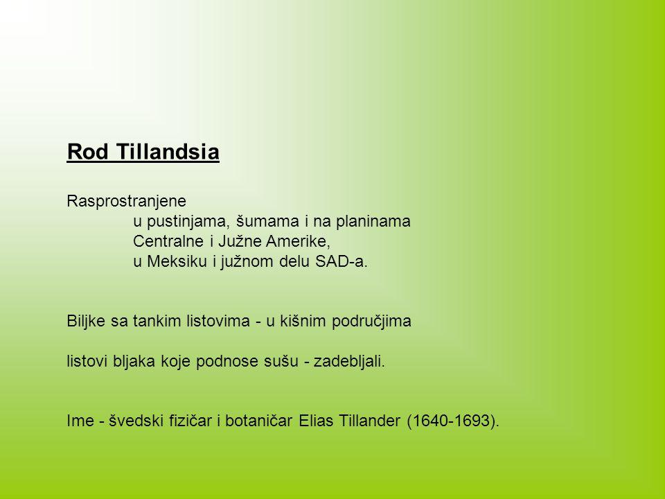 Rod Tillandsia Rasprostranjene u pustinjama, šumama i na planinama