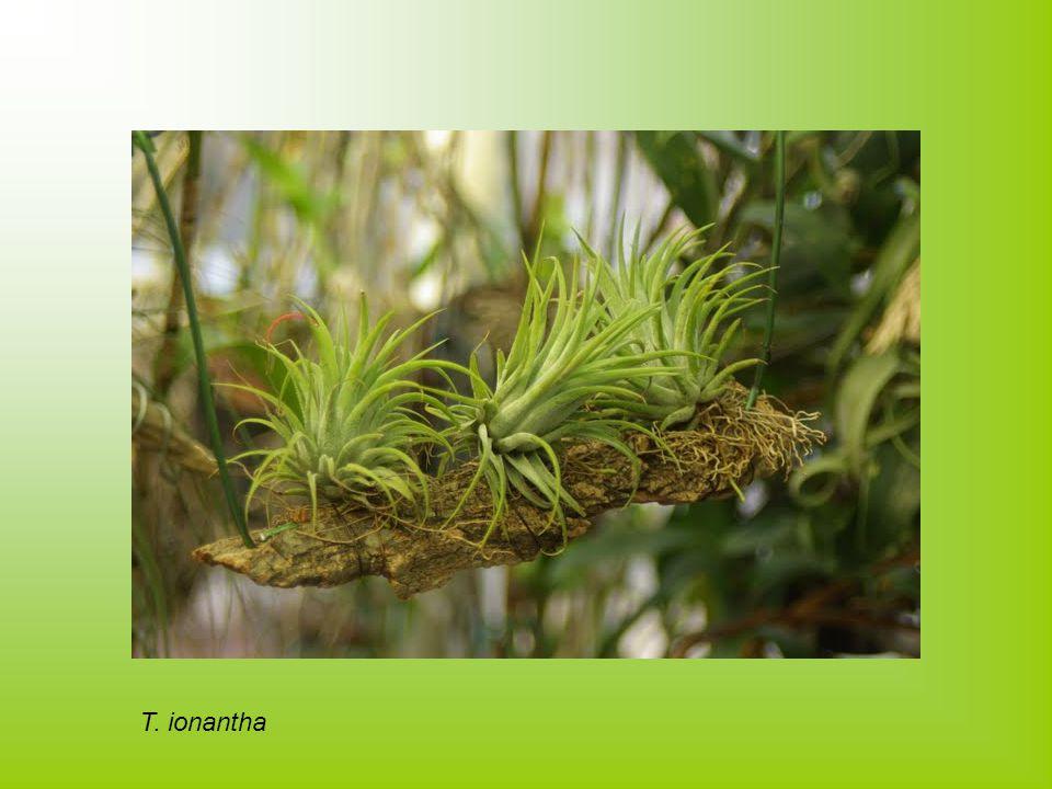 T. ionantha