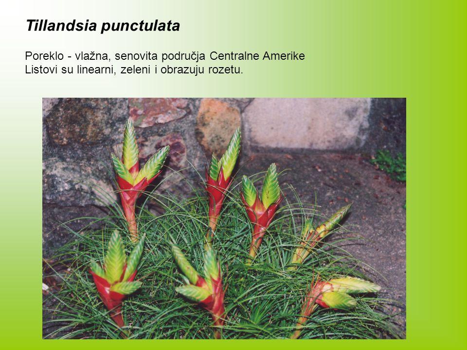 Tillandsia punctulata