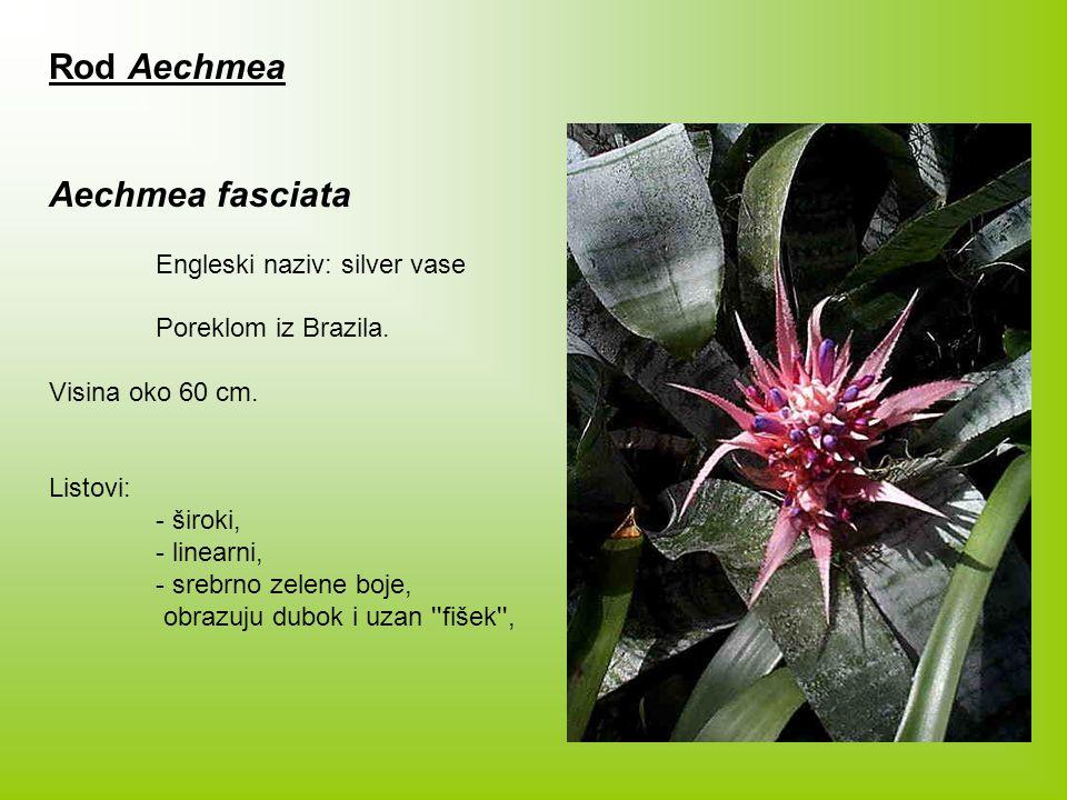 Rod Aechmea Aechmea fasciata Engleski naziv: silver vase