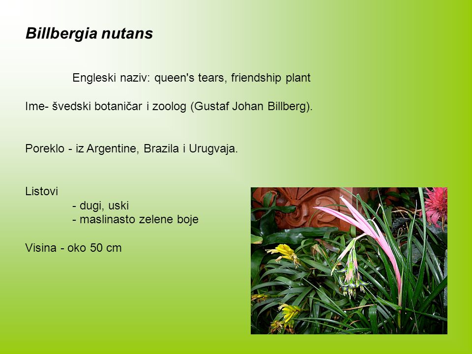 Billbergia nutans Engleski naziv: queen s tears, friendship plant
